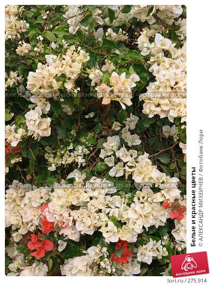 Белые и красные цветы, фото № 275914, снято 24 февраля 2008 г. (c) АЛЕКСАНДР МИХЕИЧЕВ / Фотобанк Лори