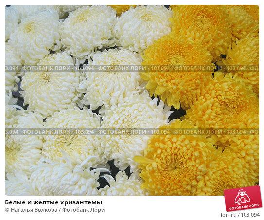 Купить «Белые и желтые хризантемы», фото № 103094, снято 18 декабря 2017 г. (c) Наталья Волкова / Фотобанк Лори