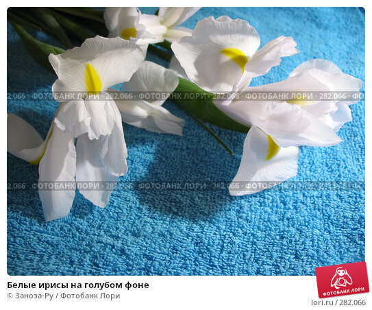 Купить «Белые ирисы на голубом фоне», фото № 282066, снято 6 мая 2008 г. (c) Заноза-Ру / Фотобанк Лори