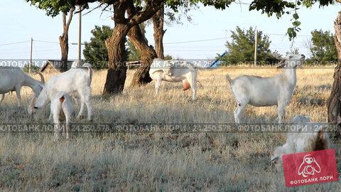 Купить «Белые козы под деревьями», видеоролик № 24250578, снято 19 марта 2014 г. (c) Курганов Александр / Фотобанк Лори