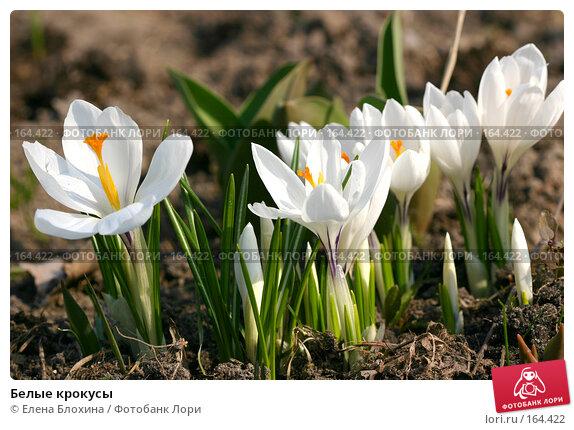 Белые крокусы, фото № 164422, снято 30 марта 2007 г. (c) Елена Блохина / Фотобанк Лори