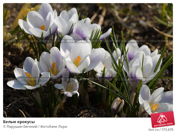 Белые крокусы, фото № 173670, снято 25 апреля 2017 г. (c) Парушин Евгений / Фотобанк Лори