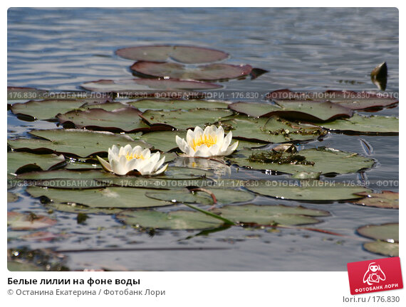 Белые лилии на фоне воды, фото № 176830, снято 24 июня 2007 г. (c) Останина Екатерина / Фотобанк Лори