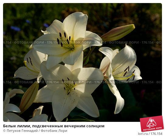 Купить «Белые лилии, подсвеченные вечерним солнцем», фото № 176154, снято 24 июля 2007 г. (c) Петухов Геннадий / Фотобанк Лори