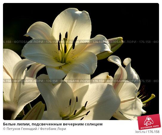 Белые лилии, подсвеченные вечерним солнцем, фото № 176158, снято 24 июля 2007 г. (c) Петухов Геннадий / Фотобанк Лори