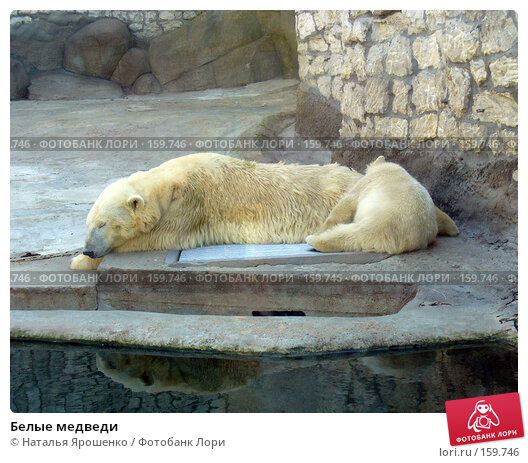 Белые медведи, фото № 159746, снято 4 мая 2006 г. (c) Наталья Ярошенко / Фотобанк Лори