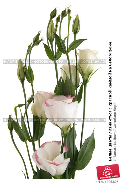 Белые цветы лизиантуса с красной каймой на белом фоне, фото № 106826, снято 29 октября 2007 г. (c) Tamara Kulikova / Фотобанк Лори
