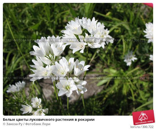 Купить «Белые цветы луковичного растения в рокарии», фото № 300722, снято 24 мая 2008 г. (c) Заноза-Ру / Фотобанк Лори