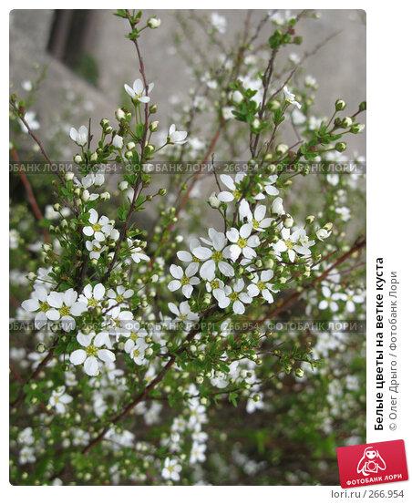 Белые цветы на ветке куста, фото № 266954, снято 18 марта 2008 г. (c) Олег Дрыго / Фотобанк Лори