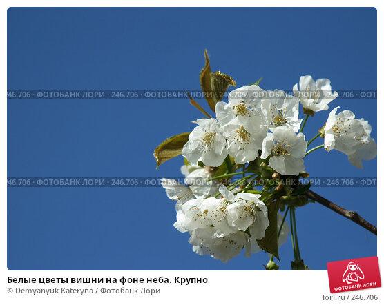 Белые цветы вишни на фоне неба. Крупно, фото № 246706, снято 4 апреля 2008 г. (c) Demyanyuk Kateryna / Фотобанк Лори