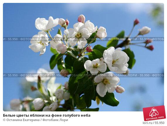 Белые цветы яблони на фоне голубого неба, фото № 55950, снято 26 мая 2007 г. (c) Останина Екатерина / Фотобанк Лори