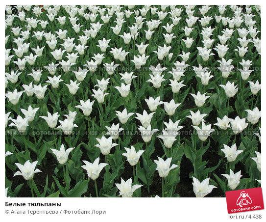 Белые тюльпаны, фото № 4438, снято 21 мая 2006 г. (c) Агата Терентьева / Фотобанк Лори