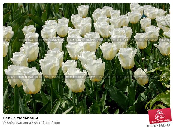 Белые тюльпаны, фото № 156458, снято 6 мая 2006 г. (c) Алёна Фомина / Фотобанк Лори
