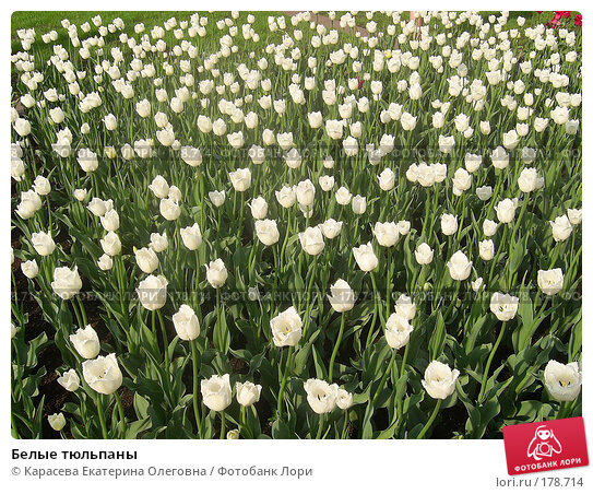 Белые тюльпаны, фото № 178714, снято 7 января 2005 г. (c) Карасева Екатерина Олеговна / Фотобанк Лори