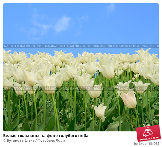 Белые тюльпаны на фоне голубого неба, фото № 166062, снято 26 мая 2007 г. (c) Бутинова Елена / Фотобанк Лори