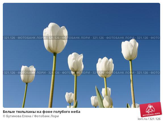 Белые тюльпаны на фоне голубого неба, фото № 321126, снято 22 мая 2008 г. (c) Бутинова Елена / Фотобанк Лори