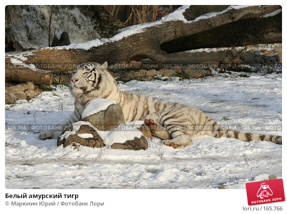 Белый амурский тигр, фото № 165766, снято 15 декабря 2007 г. (c) Марюнин Юрий / Фотобанк Лори