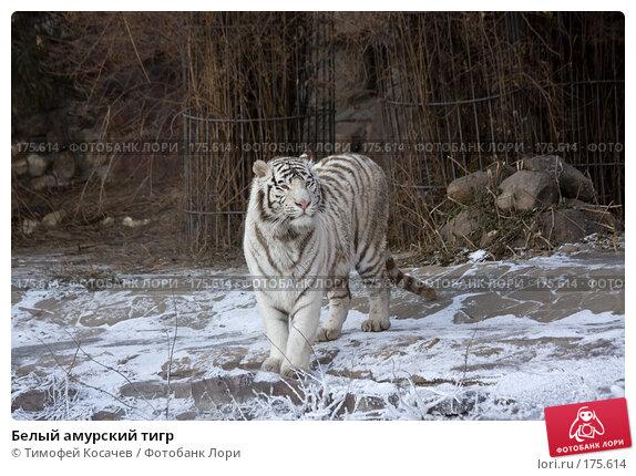 Белый амурский тигр, фото № 175614, снято 3 января 2008 г. (c) Тимофей Косачев / Фотобанк Лори