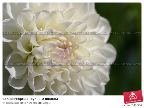 Белый георгин крупным планом, фото № 141334, снято 26 августа 2007 г. (c) Елена Блохина / Фотобанк Лори