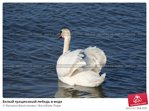 Белый грациозный лебедь в воде, фото № 264910, снято 29 марта 2008 г. (c) Наталья Белотелова / Фотобанк Лори