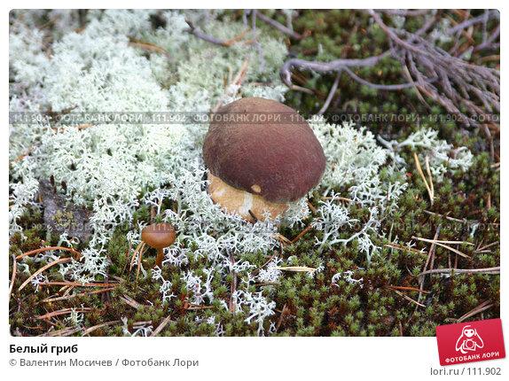 Белый гриб, фото № 111902, снято 7 сентября 2004 г. (c) Валентин Мосичев / Фотобанк Лори