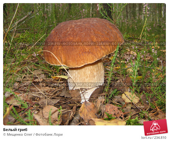 Белый гриб, фото № 234810, снято 9 сентября 2006 г. (c) Мещенко Олег / Фотобанк Лори