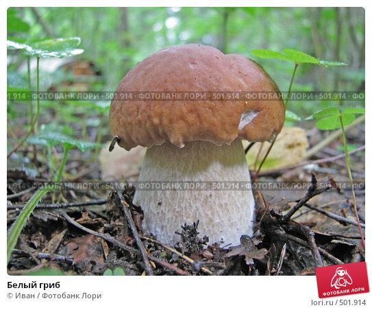 Купить «Белый гриб», фото № 501914, снято 11 августа 2008 г. (c) Иван / Фотобанк Лори