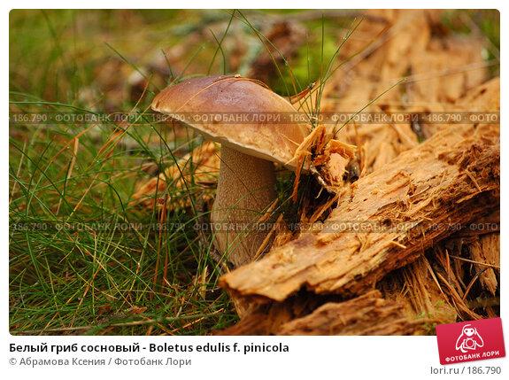 Белый гриб сосновый - Boletus edulis f. pinicola, фото № 186790, снято 26 августа 2006 г. (c) Абрамова Ксения / Фотобанк Лори