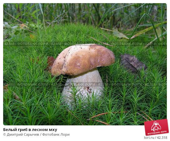 Купить «Белый гриб в лесном мху», фото № 42318, снято 16 сентября 2006 г. (c) Дмитрий Сарычев / Фотобанк Лори