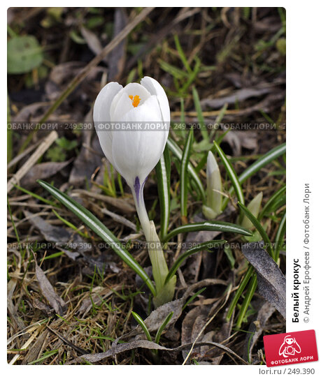 Белый крокус, фото № 249390, снято 12 апреля 2008 г. (c) Андрей Ерофеев / Фотобанк Лори