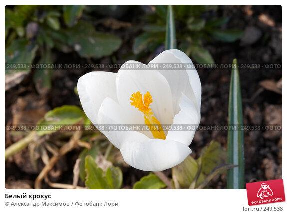 Белый крокус, фото № 249538, снято 29 апреля 2006 г. (c) Александр Максимов / Фотобанк Лори
