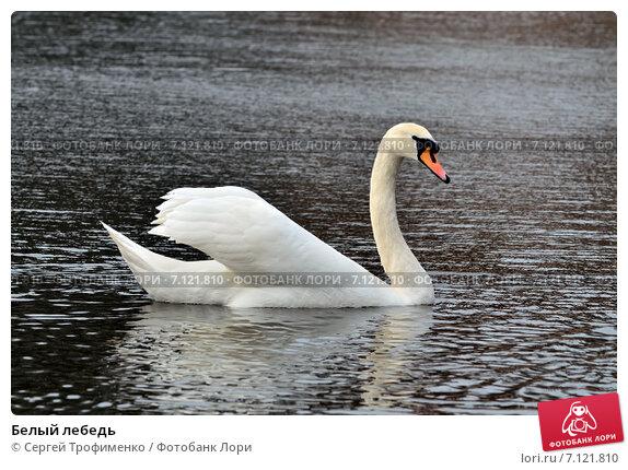 Купить «Белый лебедь», фото № 7121810, снято 21 января 2014 г. (c) Сергей Трофименко / Фотобанк Лори