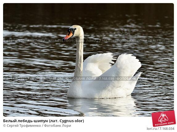 Купить «Белый лебедь-шипун (лат. Cygnus olor)», фото № 7168034, снято 21 января 2014 г. (c) Сергей Трофименко / Фотобанк Лори