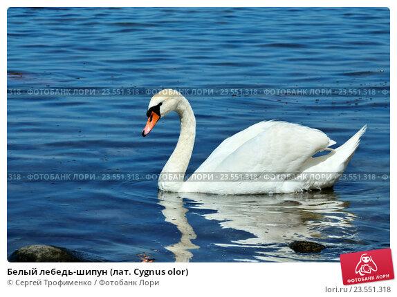 Купить «Белый лебедь-шипун (лат. Cygnus olor)», фото № 23551318, снято 1 июля 2016 г. (c) Сергей Трофименко / Фотобанк Лори