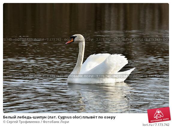 Купить «Белый лебедь-шипун (лат. Cygnus olor) плывёт по озеру», фото № 7173742, снято 21 января 2014 г. (c) Сергей Трофименко / Фотобанк Лори