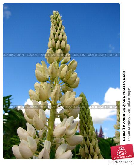 Купить «Белый люпин на фоне синего неба», фото № 325446, снято 14 июня 2008 г. (c) Ivan Markeev / Фотобанк Лори