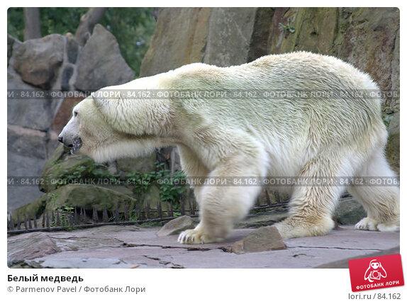 Белый медведь, фото № 84162, снято 4 сентября 2007 г. (c) Parmenov Pavel / Фотобанк Лори
