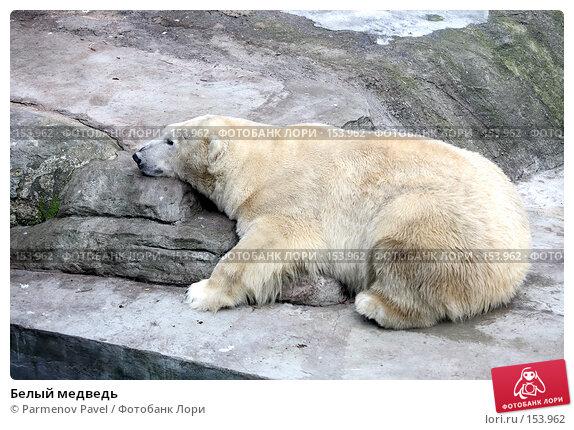 Белый медведь, фото № 153962, снято 11 декабря 2007 г. (c) Parmenov Pavel / Фотобанк Лори