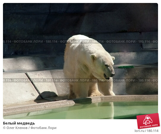 Белый медведь, фото № 180114, снято 1 августа 2007 г. (c) Олег Кленов / Фотобанк Лори
