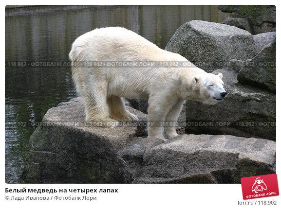 Белый медведь на четырех лапах, фото № 118902, снято 5 апреля 2007 г. (c) Лада Иванова / Фотобанк Лори