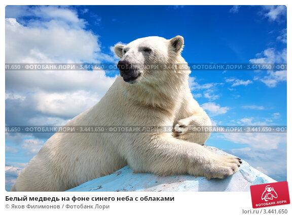 Купить «Белый медведь на фоне синего неба с облаками», фото № 3441650, снято 14 июля 2011 г. (c) Яков Филимонов / Фотобанк Лори
