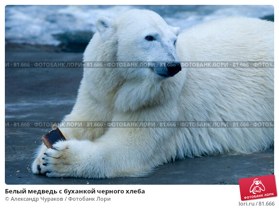 Белый медведь с буханкой черного хлеба, фото № 81666, снято 1 января 2007 г. (c) Александр Чураков / Фотобанк Лори