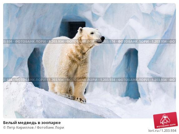 Купить «Белый медведь в зоопарке», фото № 1203934, снято 7 февраля 2009 г. (c) Петр Кириллов / Фотобанк Лори