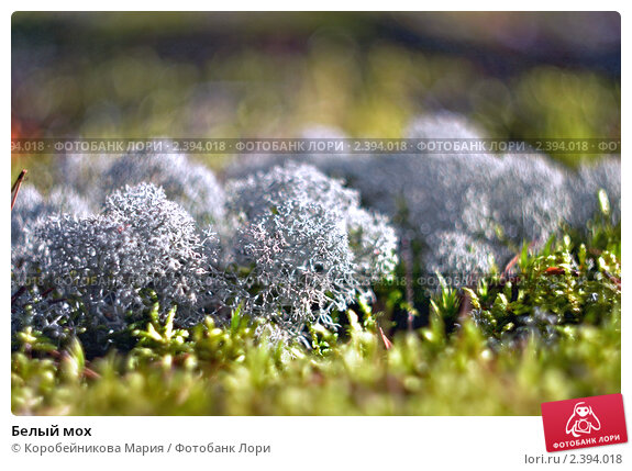 Белый мох. Стоковое фото, фотограф Коробейникова Мария / Фотобанк Лори