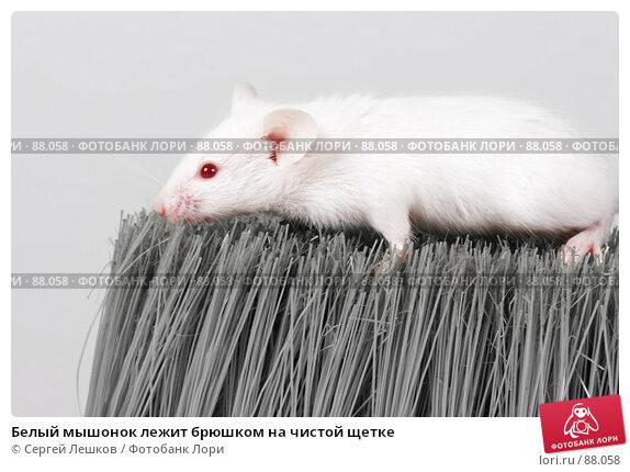 Белый мышонок лежит брюшком на чистой щетке, фото № 88058, снято 23 сентября 2007 г. (c) Сергей Лешков / Фотобанк Лори