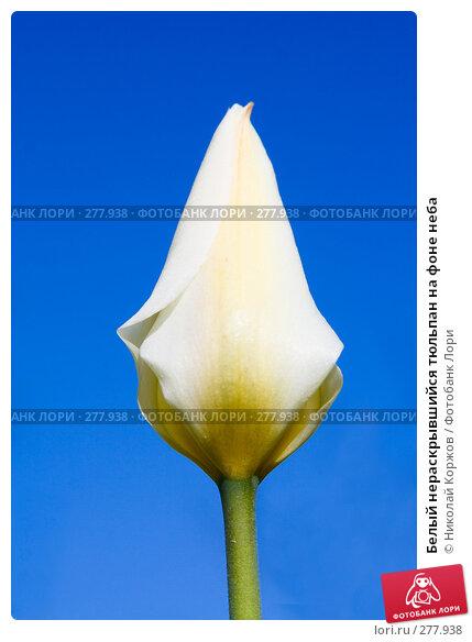 Белый нераскрывшийся тюльпан на фоне неба, фото № 277938, снято 4 апреля 2008 г. (c) Николай Коржов / Фотобанк Лори