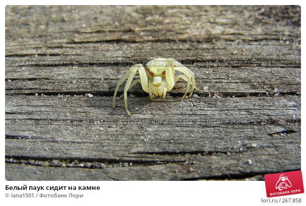 Белый паук сидит на камне, эксклюзивное фото № 267858, снято 30 апреля 2008 г. (c) lana1501 / Фотобанк Лори