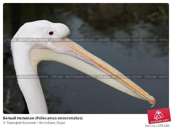 Купить «Белый пеликан (Pelecanus onocrotalus)», фото № 270630, снято 12 апреля 2008 г. (c) Тимофей Косачев / Фотобанк Лори