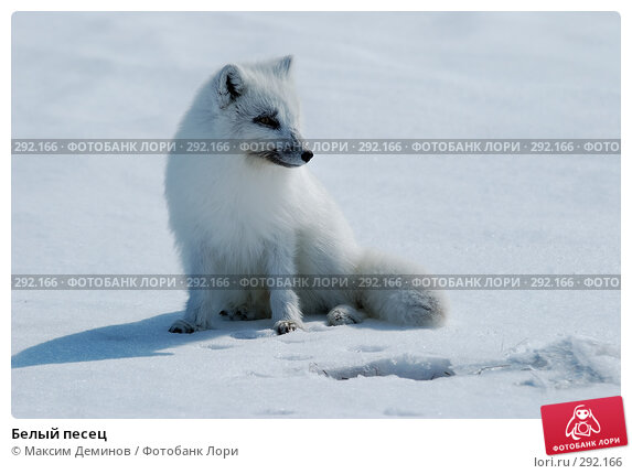 Белый песец, фото № 292166, снято 20 мая 2008 г. (c) Максим Деминов / Фотобанк Лори