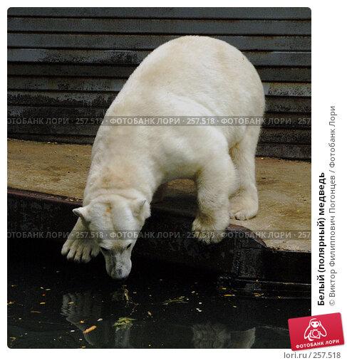 Белый (полярный) медведь, фото № 257518, снято 20 июня 2007 г. (c) Виктор Филиппович Погонцев / Фотобанк Лори